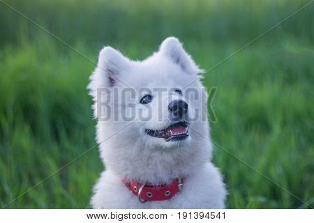 portraits of white husky or samoyed puppy in green fields