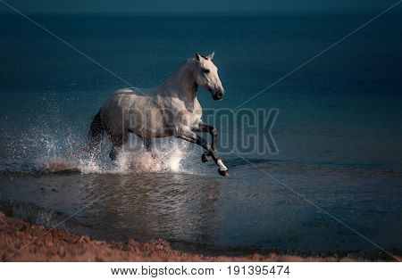 Dapple-grey horse runs in the water of the blue sea