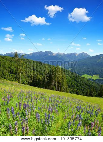 Lupine flowers on mountain meadow in Italian Alps.