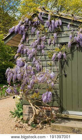 Wisteria plant with flowers growing over a shed in english garden