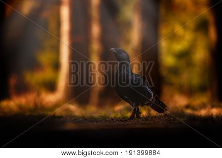 Beautiful wild capercaillie in the nature habitat in the forest/european nature/czech republic wildlife/great birding story/young male/very rare sightings during mating time