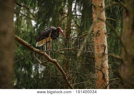 Black stork in the dark of the european forest, beautiful and big bird in the woodlands of czech republic, Ciconia nigra
