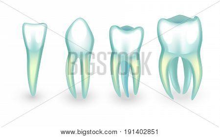 vector illustration of human teeth. incisor canine and molars