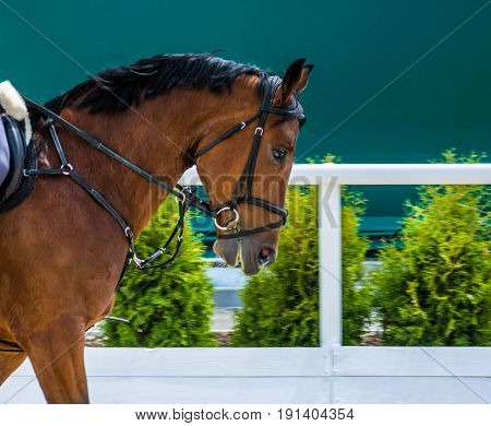 Dressage: portrait of bay horse on nature background. Close up of the head of a bay dressage horse with bridle and check-rein or martingale.