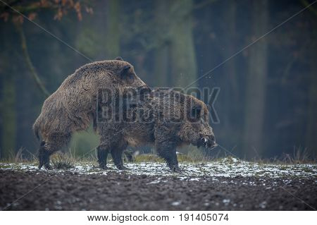 Wild boar male in the forest. A wild animal in the natural habitat. The Czech Republic.
