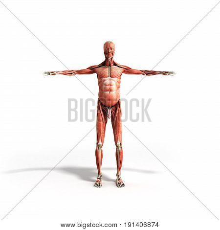 Human Muscle Anatomy 3D Render On White Front