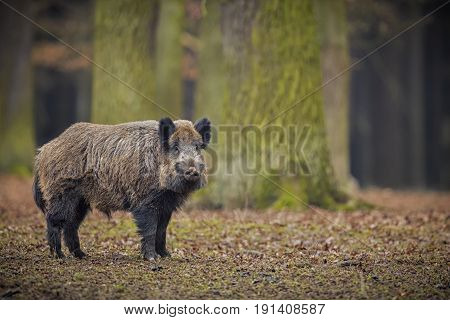 Wild boar male in the forest/wild animal in the nature habitat/Czech Republic
