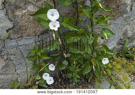 The ivy plant and the white flowers between the pavement stones, the plant of the ivy,