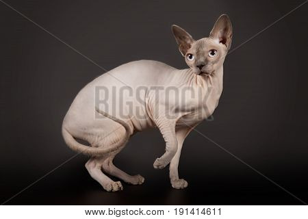 Sphynx Cat Stands and raise up paw on black background