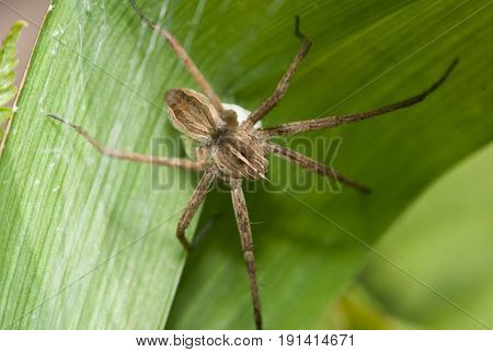 The house spider crawling on a green Bush, insect close-up