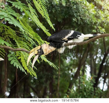 Great pied hornbill in the rain forest