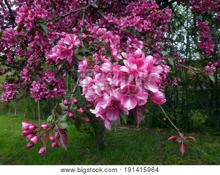 Blooming branch of apple tree with many pink  flowers