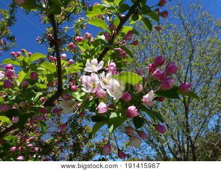 Blooming branch of apple tree with pink flowers