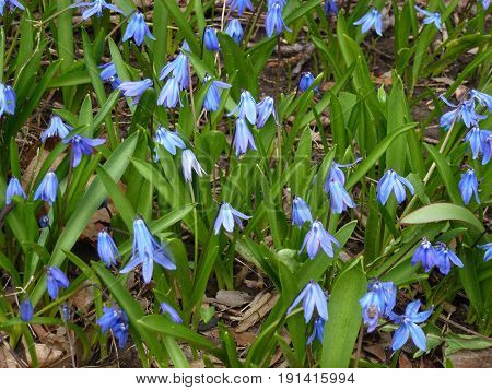 Many blue flowers as a floral background