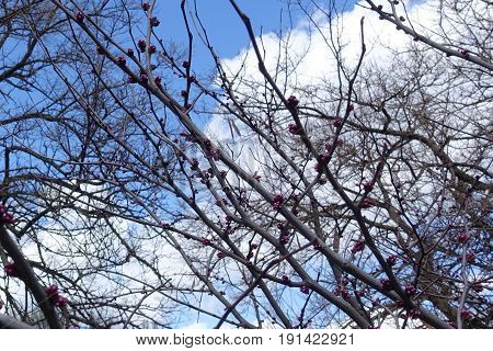 Branches Of Cercis Canadensis With Pink Buds