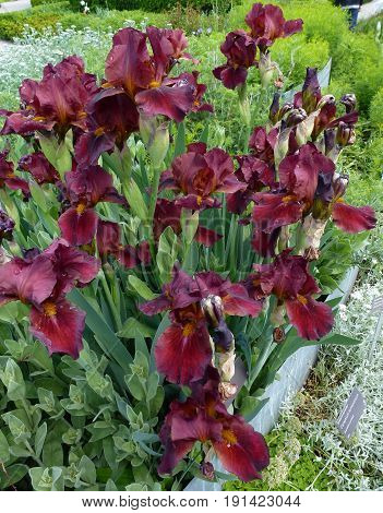 Dark red irises on the flower bed