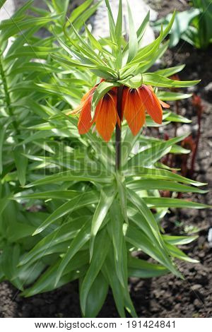 Orange Whorl Of Downward Facing Flowers Of Fritillaria