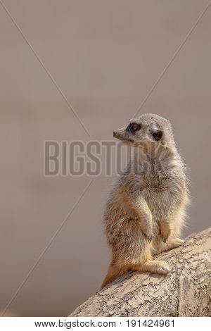 Cute furry meerkat. Nature wildlfie image with plain background copy space.