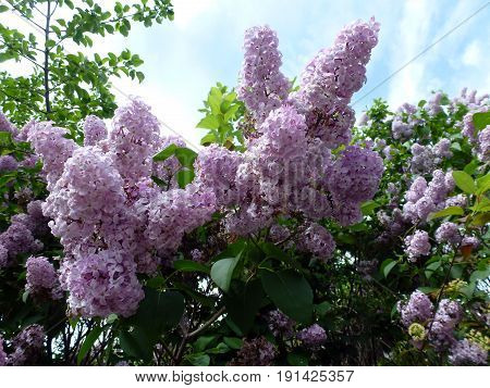 The bunches of blooming purple lilac on bush