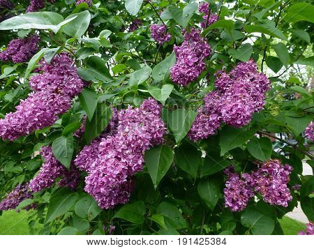 The purple bunches of blooming lilac bush