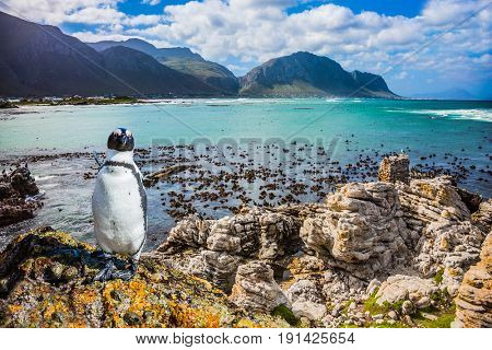 The boulders and algae in Boulders Penguin Colony National Park, South Africa. Fanny african black - white penguin on the beach of Atlantic. The concept of  ecotourism
