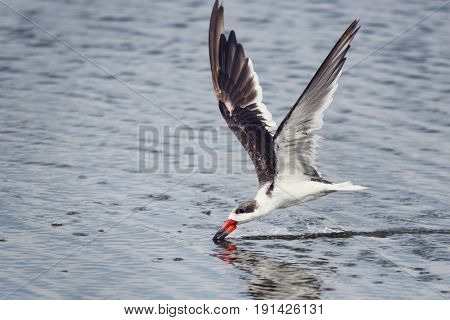 Black skimmer (Rynchops niger) feeding in Flight