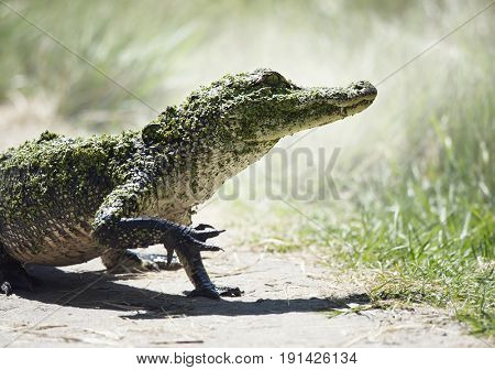 Young American Alligator in Florida Wetlands