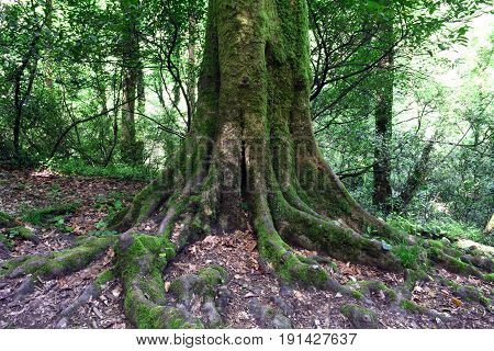 The roots of the old tree, large roots covered with moss