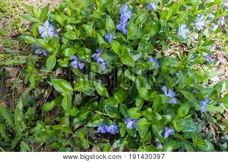 Lots Of Flowers Of Vinca Minor In April