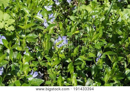 Young Lush Glossy Green Leaves Of Periwinkle In Spring