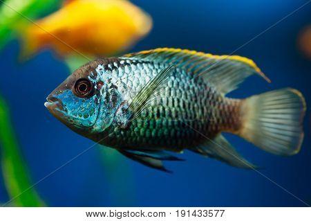 Nannacara. Blue aquarium fish on a background other fish. Cichlids.
