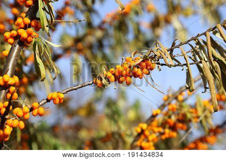 Branch of sea buckthorn berries close up