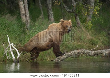 Large Alaskan Brown Bear Sow