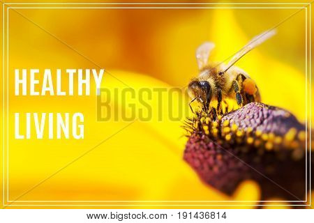 Word Healthy Living. Close-up photo of a Western Honey Bee gathering nectar.