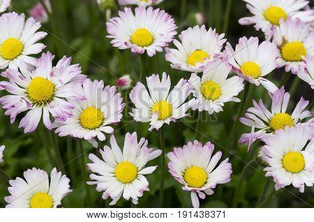 Flowering daisies in the field, Pyrethrum, decoration