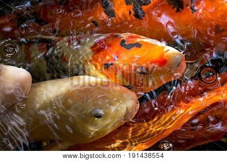 up close koi fish faces in a pond
