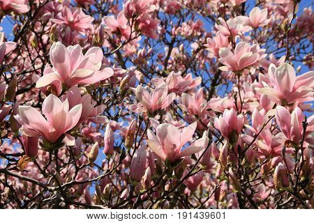 Many pink flowers of the blooming magnolia tree