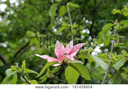 Single pink flower on the branch of blooming magnolia tree