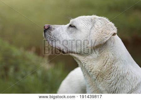 young cute labrador retriever dogg puppy on a meadow with flowers