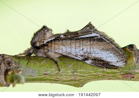 Beautiful butterfly prominent sleeps on a branch on a green background