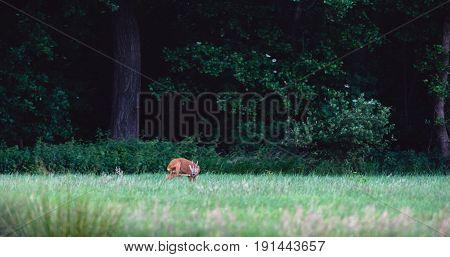Roe Deer Buck In Field Scratching His Head.