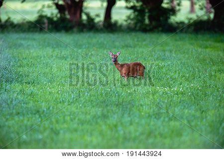 Alert Roe Deer Standing In Grass Looking Towards Camera.