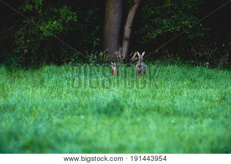Roe Deer Mother With Calf In Field Near Bush.