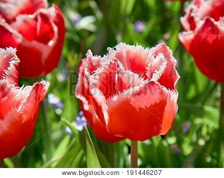 Terry fringed red tulip. Pink tulip fringed with white ragged edges. Terry pink colored tulip, close up image
