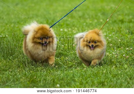 Spitz. Pomeranian run in grass field Dog running