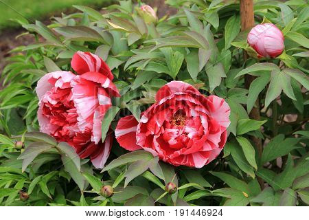 Blooming colorful peonies on the flower bed