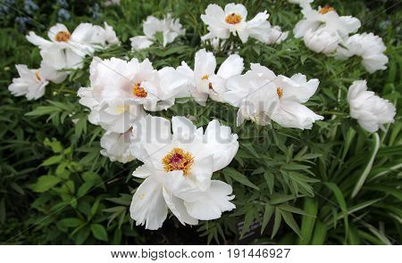 Blooming white peonies on the flower bed