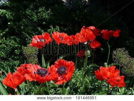 Many red poppies on the flower bed