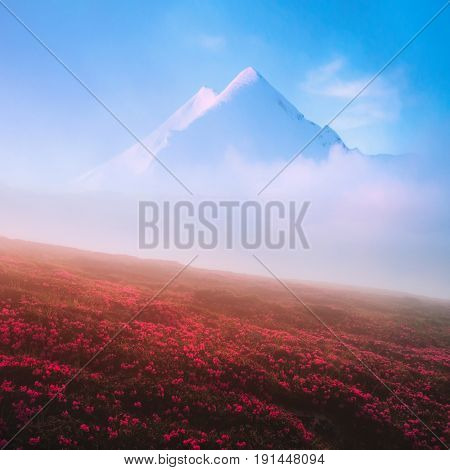 Blooming pink rhododendron flowers against a background of a double snowy peak. Foggy morning in the high mountains