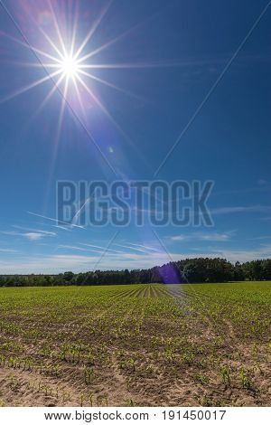 The Sun Over The Field With Young Maize Plants